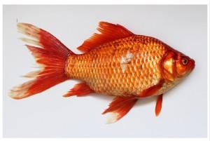 Looseparts 'Mooiste vis van de zee'