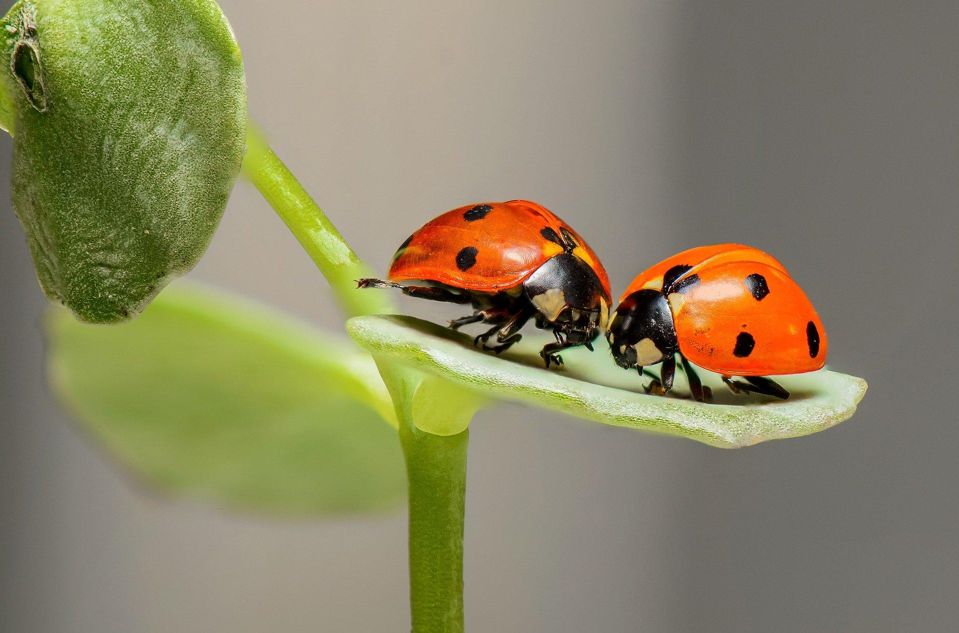 ladybugs-1593406_1920 (1)